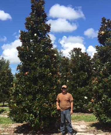 Little Gem Magnolia Tc Tree Farm Inc