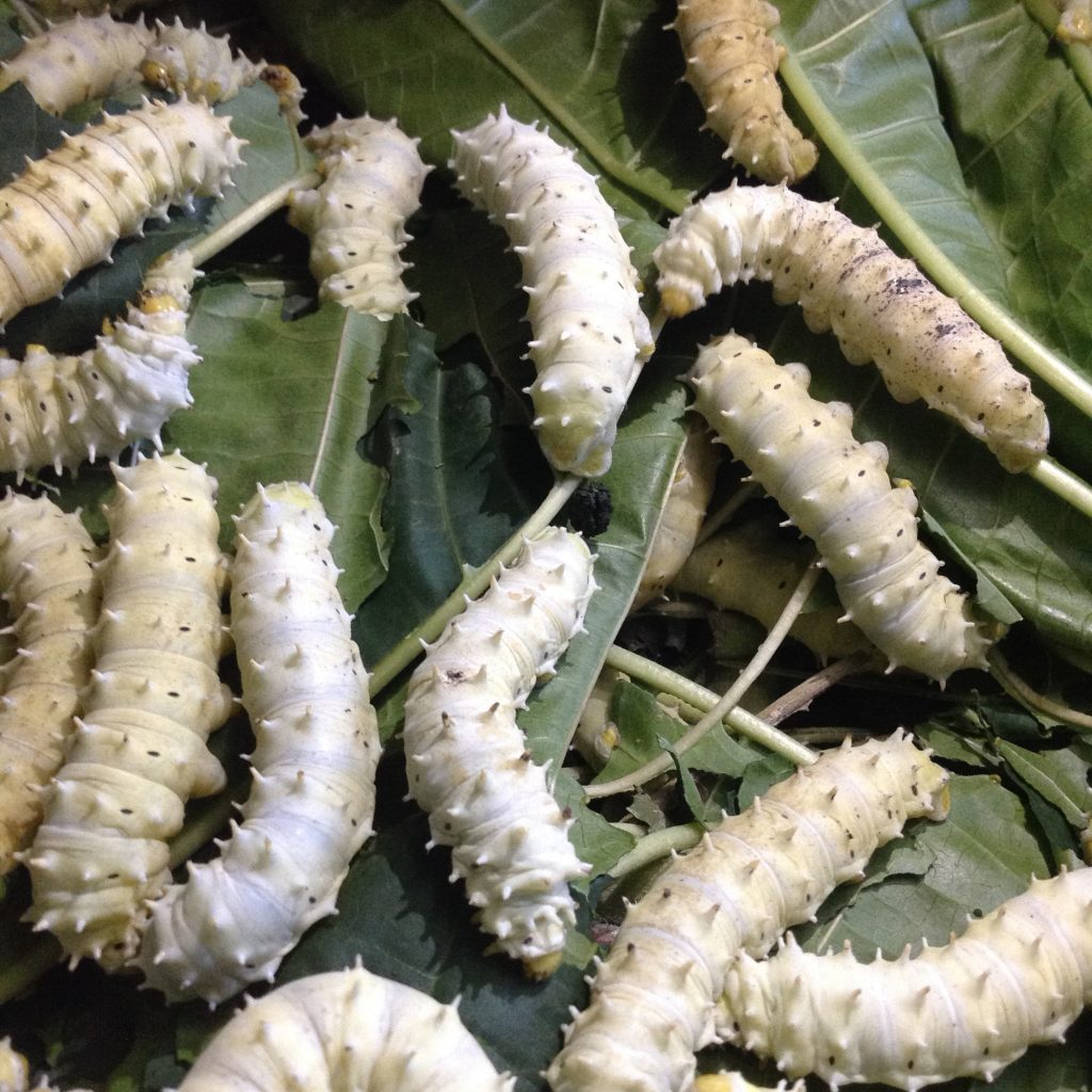 Tosheka silk worms [Image: Courtesy of Tosheka Textiles]