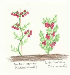 cordon and bush tomato diagram [ 912 x 958 Pixel ]