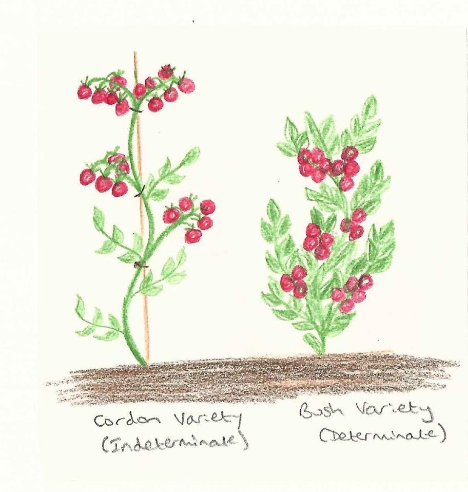 medium resolution of cordon and bush tomato diagram