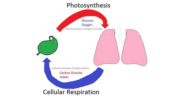 photosynthesis and cellular respiration cycle diagram multimeter wiring at the atomic level lesson a hand drawn showing connection between processes of