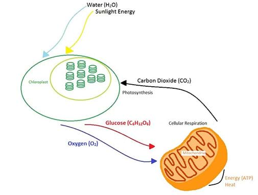 photosynthesis and cellular respiration cycle diagram rotary switch at the atomic level lesson a shows how are direct opposite reactions energy from