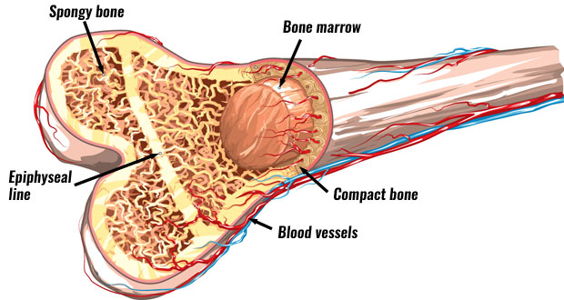 diagram of a bone inside blazer door latch structure the skeleton bones anatomy physiology