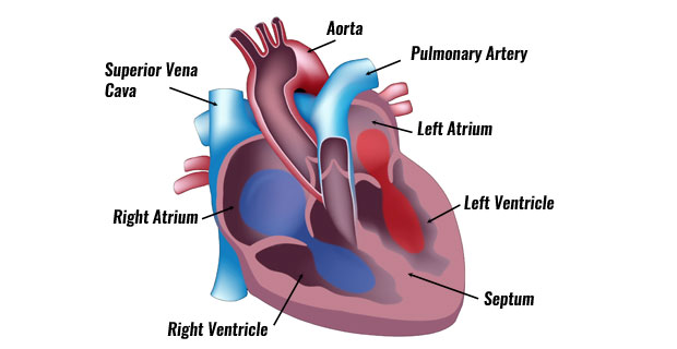human heart and lungs diagram car stereo installation the anatomy of pumps continuously without resting becoming fatigued its function is to pump blood around