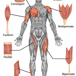 Hand Muscles Diagram 96 Cherokee Ignition Wiring Shapes Of Skeletal Muscle