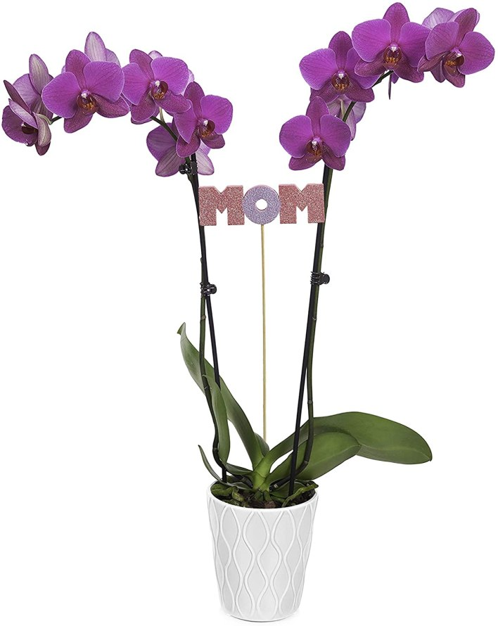 orchid plant for mom