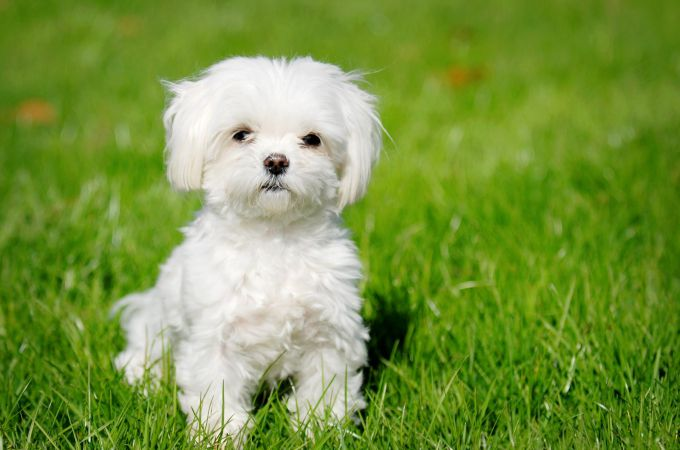 Teacup Maltipoo and the facts