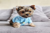 Teacup Yorkie - Pictures, Guides and Facts About This ...
