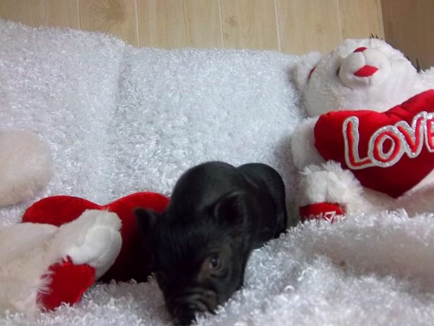 micro male piglet