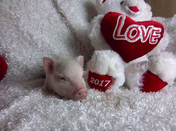 female micro pig