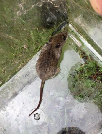 Deer Mouse - one of several living under the ties