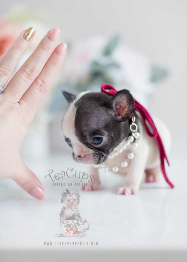 tiny french bulldog puppies | teacups, puppies & boutique
