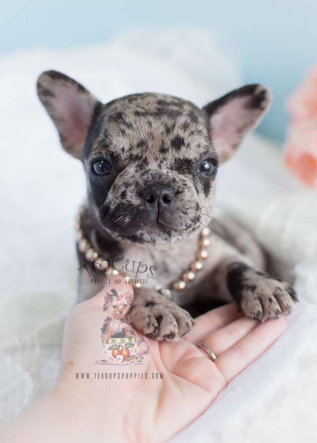 merle frenchie for sale at teacups puppies and boutique