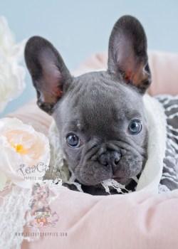 Teacup French Bulldog In Joyous Baby Ing Tender Mini Boy