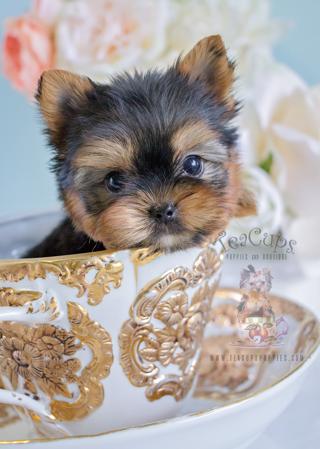 Cute Dog Puppy Wallpapers Adorable Yorkie Puppy For Sale In Broward County Teacups