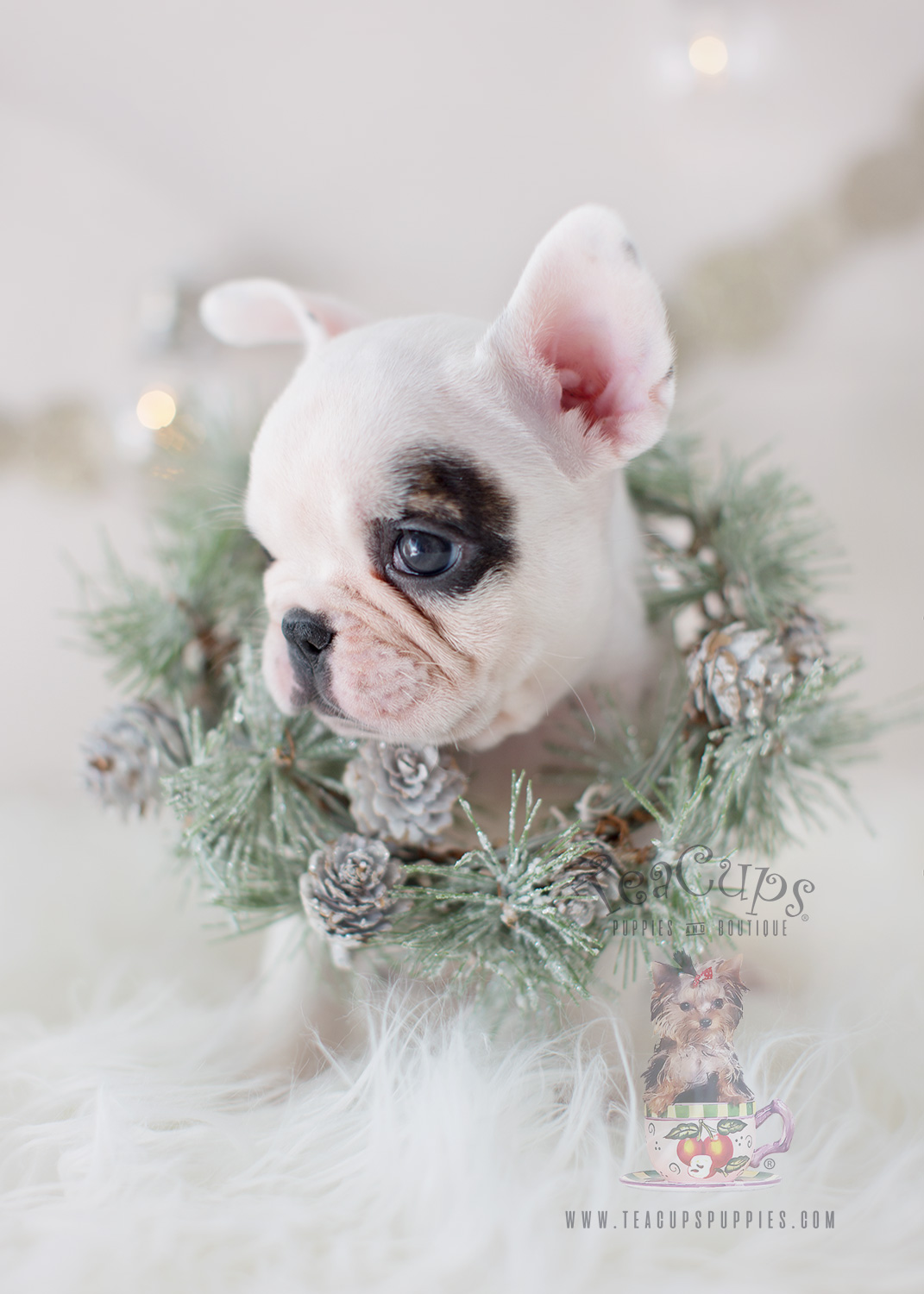 The Frenchie of your dreams is here  Teacups Puppies  Boutique