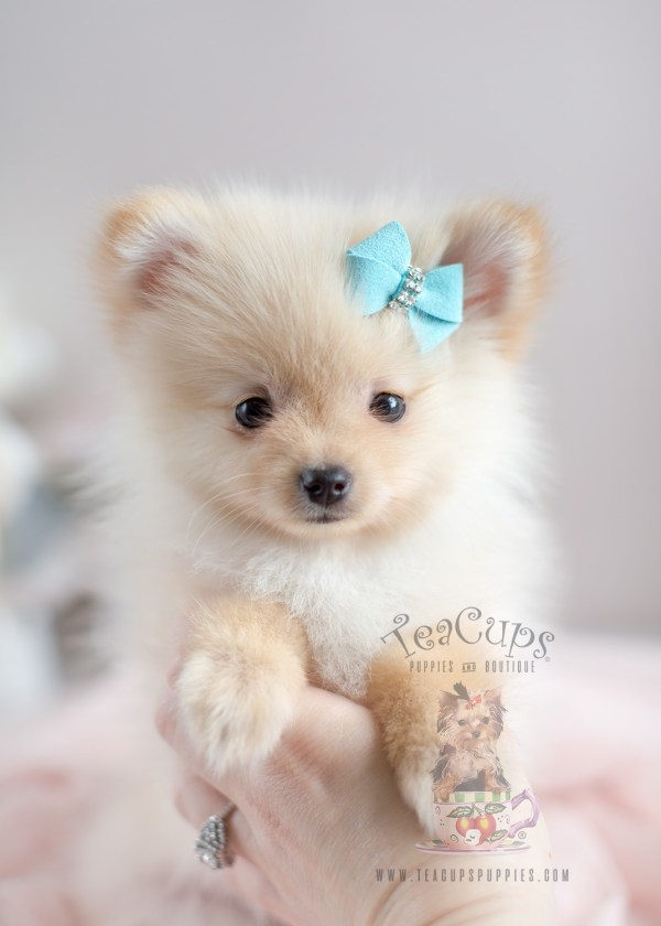 20+ Teacup Pomeranian Playing Together Pictures and Ideas on Meta