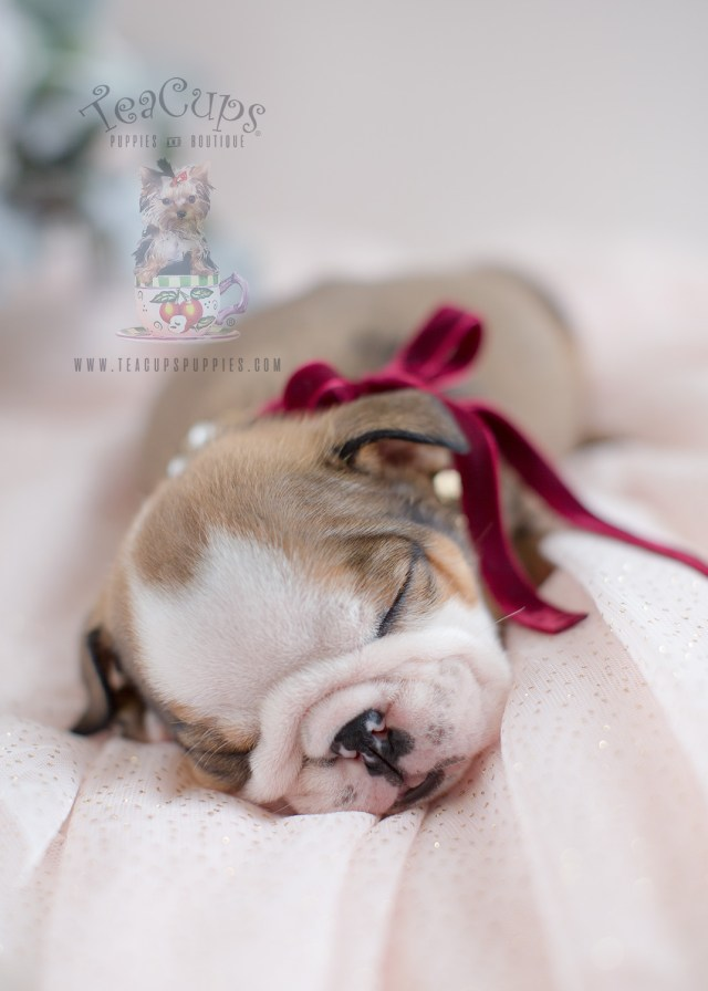 adorable english bulldog puppies for sale | teacups, puppies