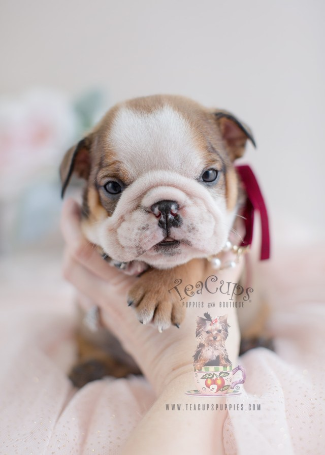 adorable english bulldog puppies for sale   teacups, puppies