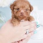 Micro Teacup Poodles Teacup Puppies Boutique