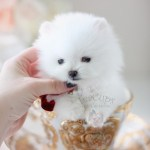 Teacup Pomeranian Puppies For Sale In Miami Ft Lauderdale Teacup Puppies Boutique