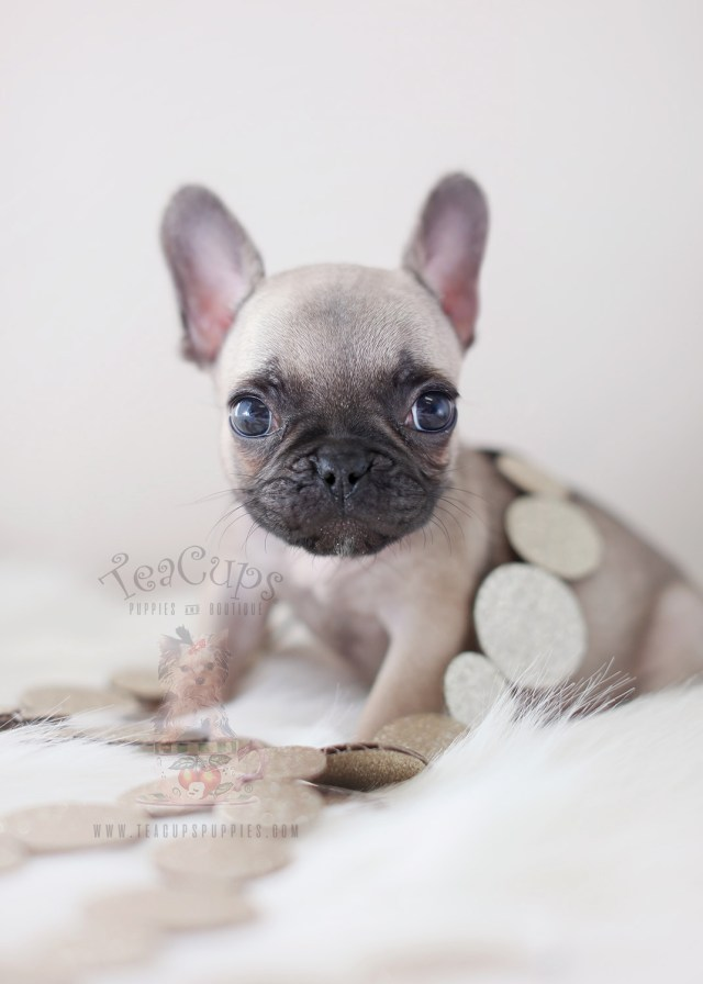 french bulldog puppies for sale in the south florida area | teacups
