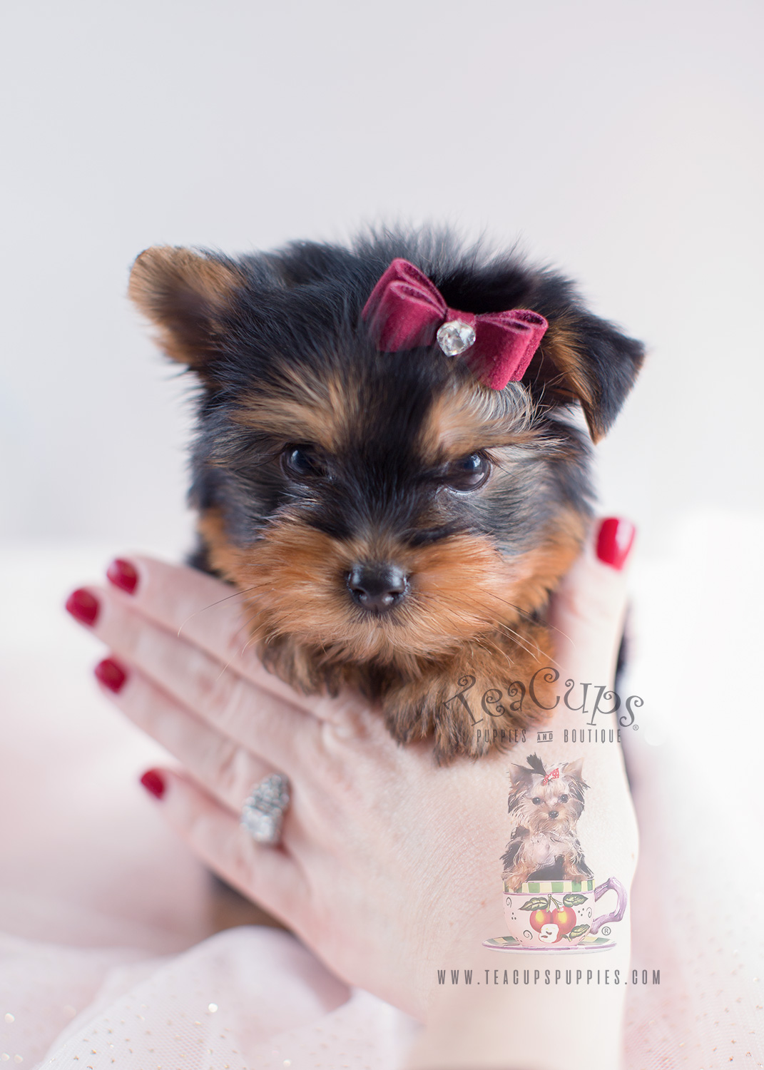Yorkie Puppies For Sale South Florida  Teacups Puppies  Boutique