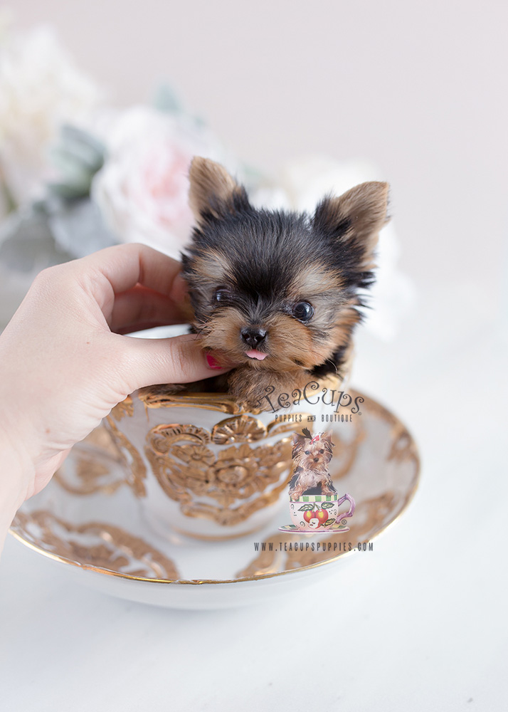 biewer yorkie puppies for sale florida