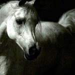 1920x1080 White Arabian Horse Photo White Arabian Arabian Horse Wallpaper Hd 1920x1080 Wallpaper Teahub Io