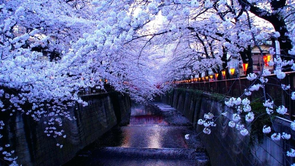 Cherry Blossom Wallpaper Japanese Hd Cherry Blossom Wallpaper Night 1024x576 Wallpaper Teahub Io
