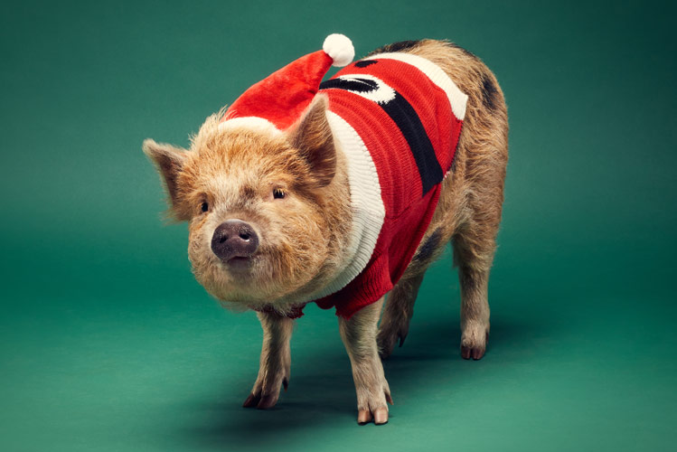 One of the Kew Little Pigs stars ©