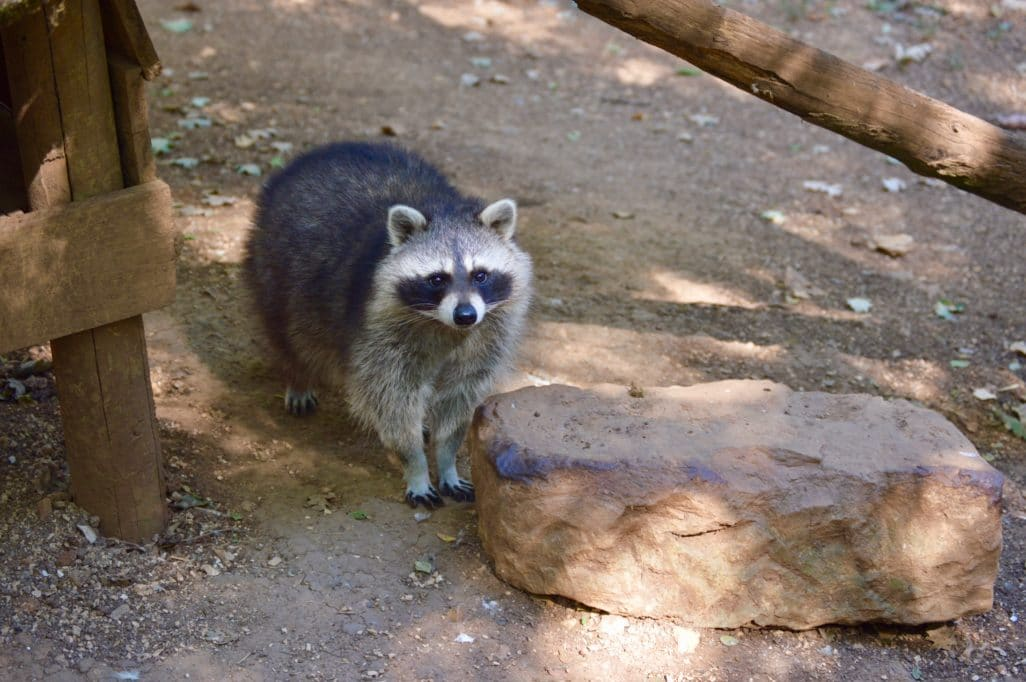 Raton Laveur parc Animalier Gramat