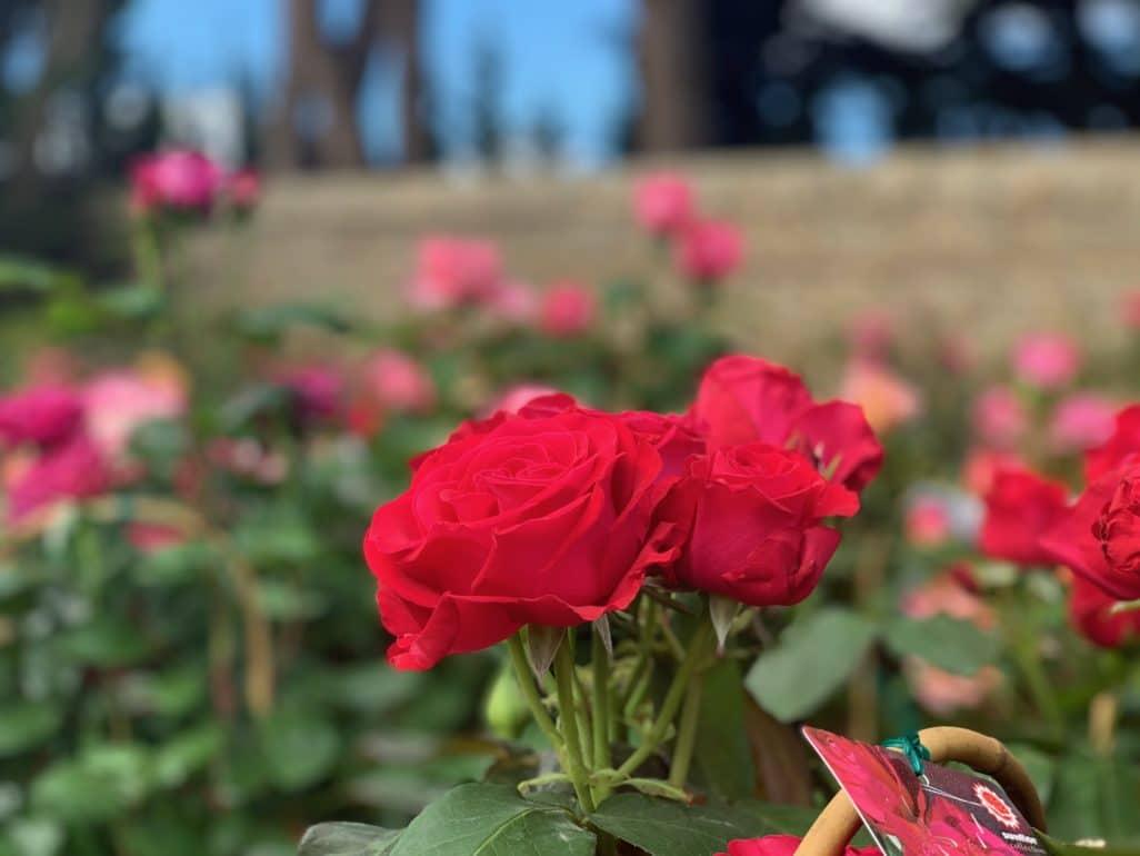 Roses team Ballet