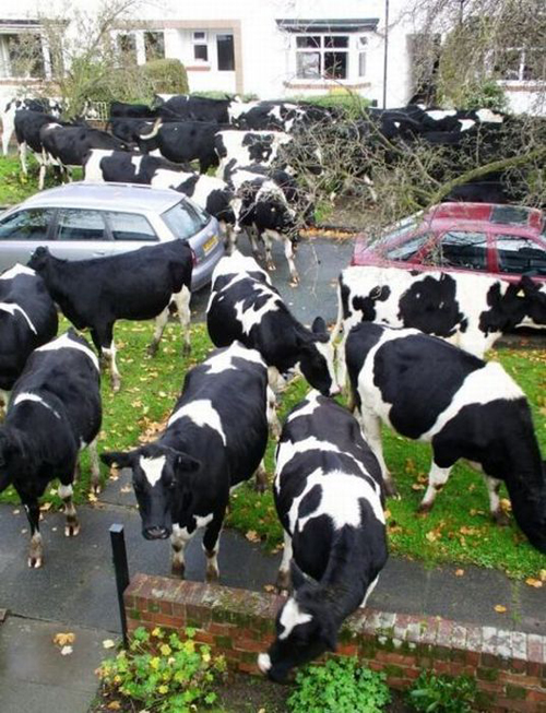 funny cows funny pictures weird pictures pics awkward family photos bad tattoos worst tattoos stupid people bad family photos funny family pics random strange crazy wtf