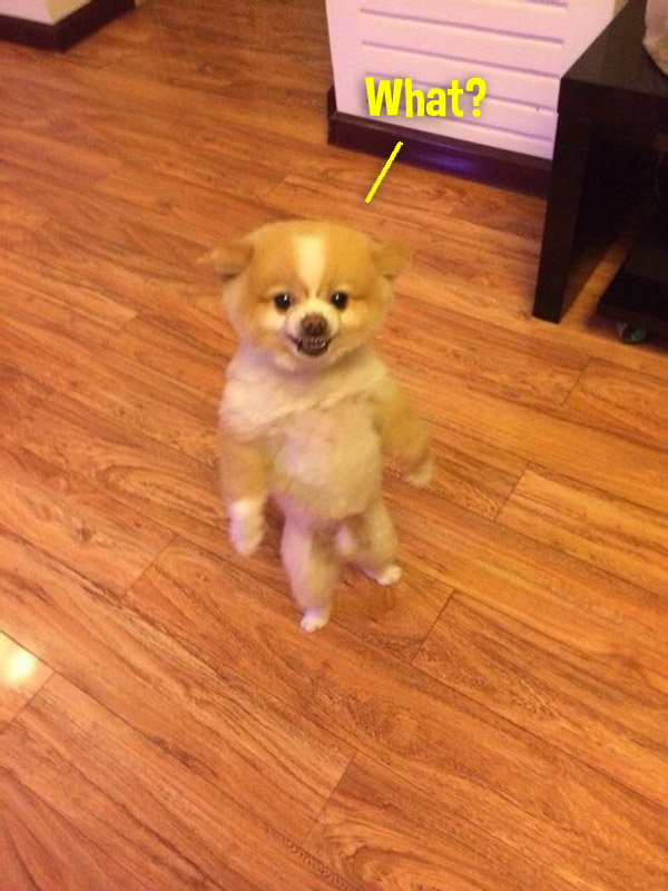little dog standing on hind legs. looks human. what?