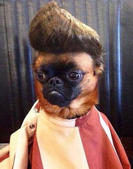 Funny pug dog with Elvis hair