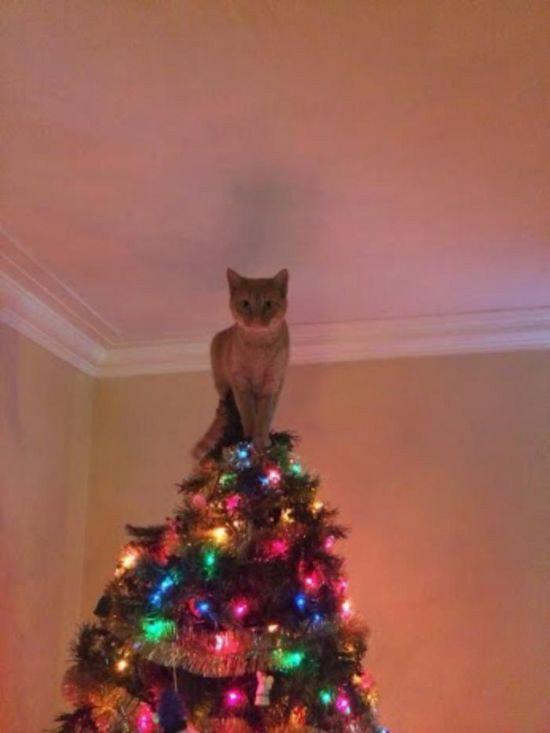 Funny Christmas Pics ~ Cat On Top Of Tree Like Star