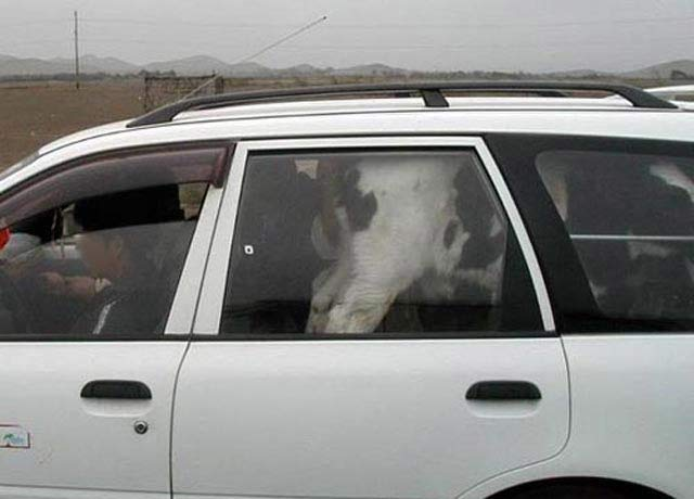 Funny Awkward Family Photos: taking a cow for a ride in station wagon