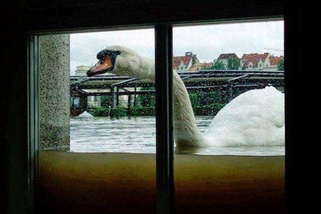 Funny pics ~ swan swimming outside basement window