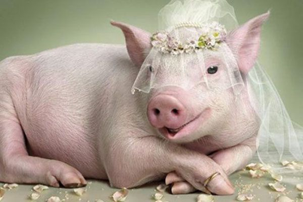 LOL! Perfectly timed truth pig in wedding veil
