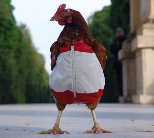 33 Funny Pics~ Chicken Pants