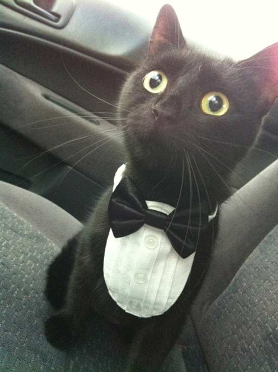 dapper cat in tuxedo ~ funny animals that take better pictures than you