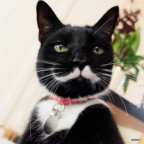 dapper cat mustache ~ funny animals that take better pictures than you