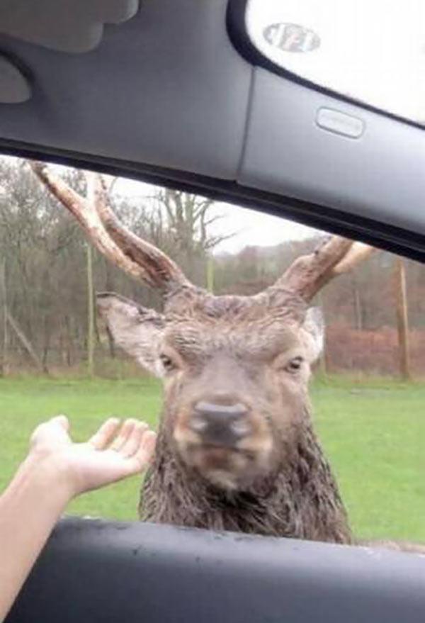 35 funny pics, memes ~ Angry deer outside car