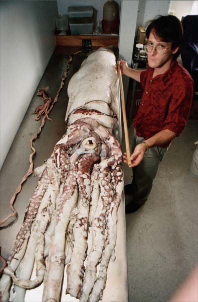 Giant squid  Deepsea creatures  Te Ara Encyclopedia of