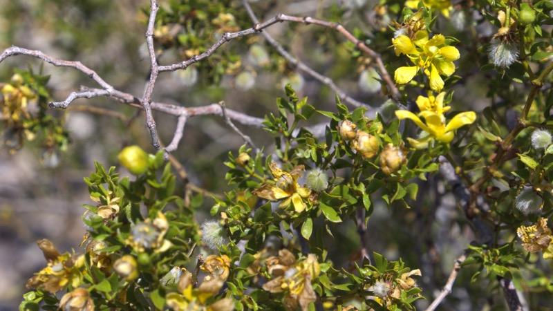 photo of Creosote Bush (Larrea tridentata)