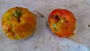 photo of damaged tomatoes