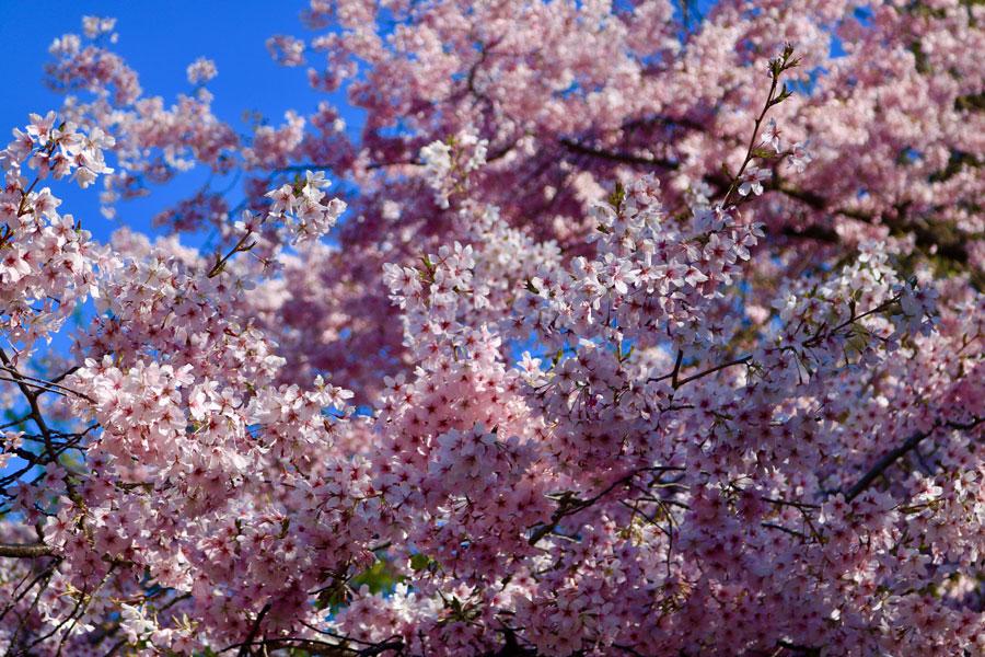 The Beautiful Blossom Trees