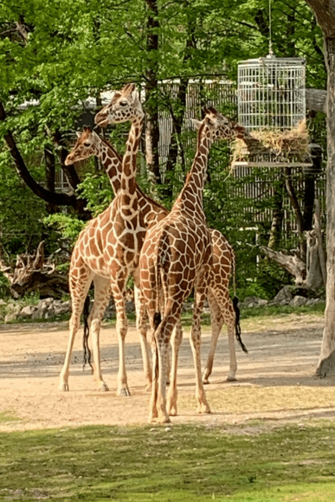 Giraffes at Hellabrunn Tierpark during a recent day trip: Day tours in and from Munich for kids.