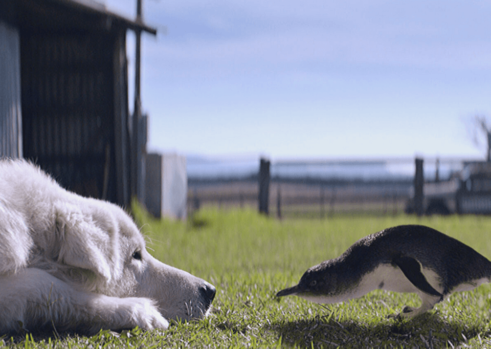 """Oddball and a little penguin from the film """"Oddball"""". Meet the Maremma dogs and search for little penguins when visiting the Great Ocean Road with kids"""